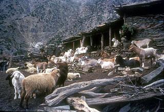 春祭りムラッチワキ・ジョシが終わると、カラーシャたちはヤギやヒツジ、ウ... 日本・パキスタン協